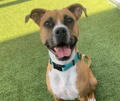 adoptable boxer at Boxer Luv Rescue
