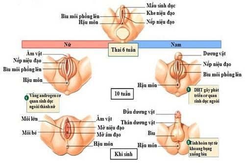 Bộ phận sinh dục thai nhi 11 13 14 15 16 tuần tuổi