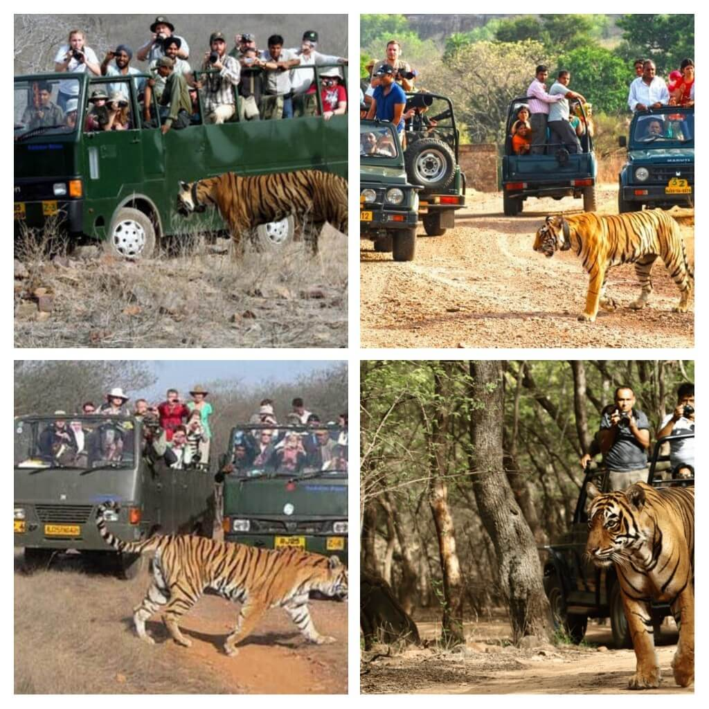This is a collage of pictures of tourists in a safari Jeep and van passing through Rantambore tiger safri in India with tigers moving around in the national park.