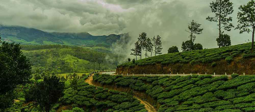 A Picure of Munnar tea plantation