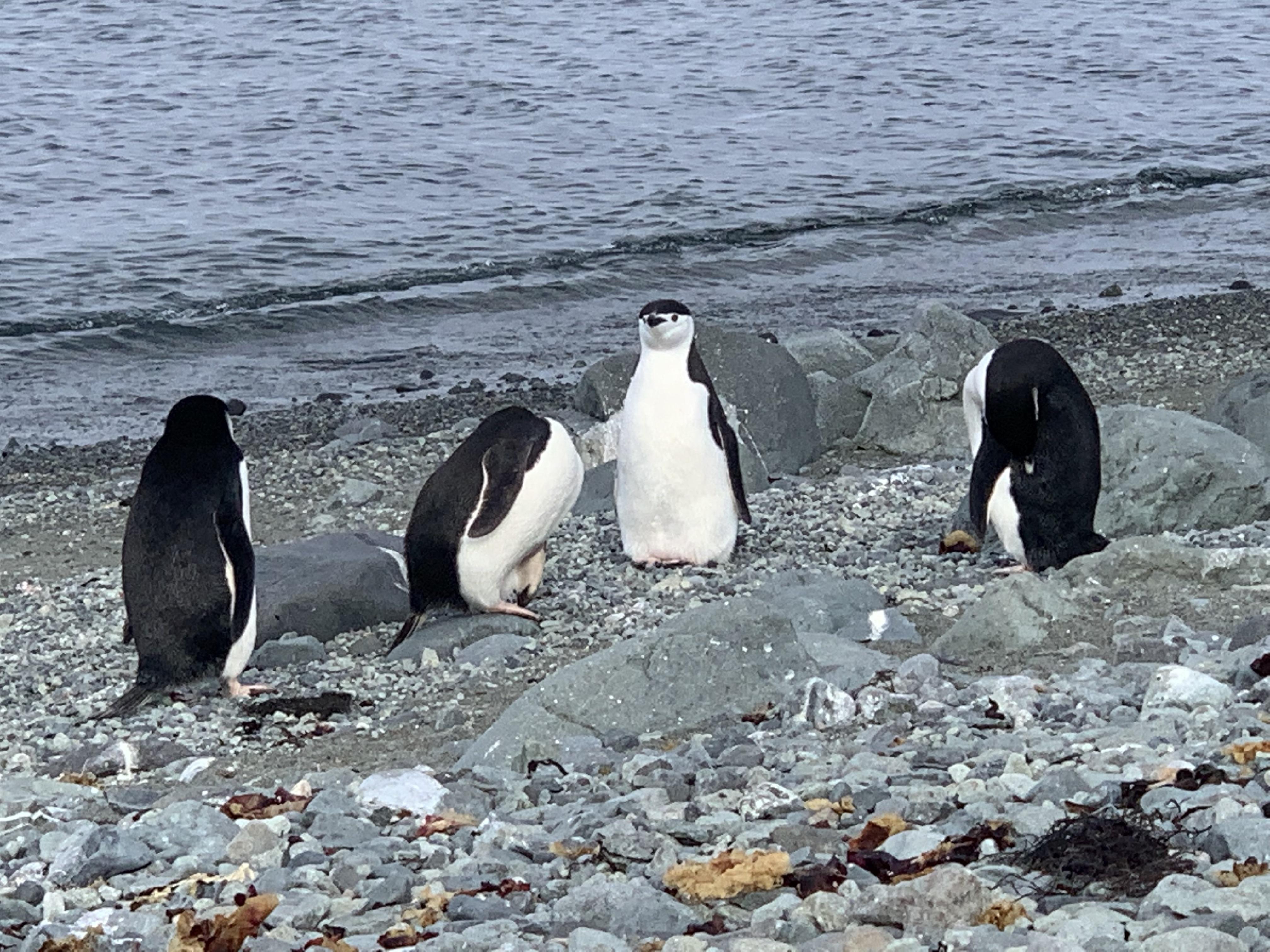 Antarctica marathon penguins