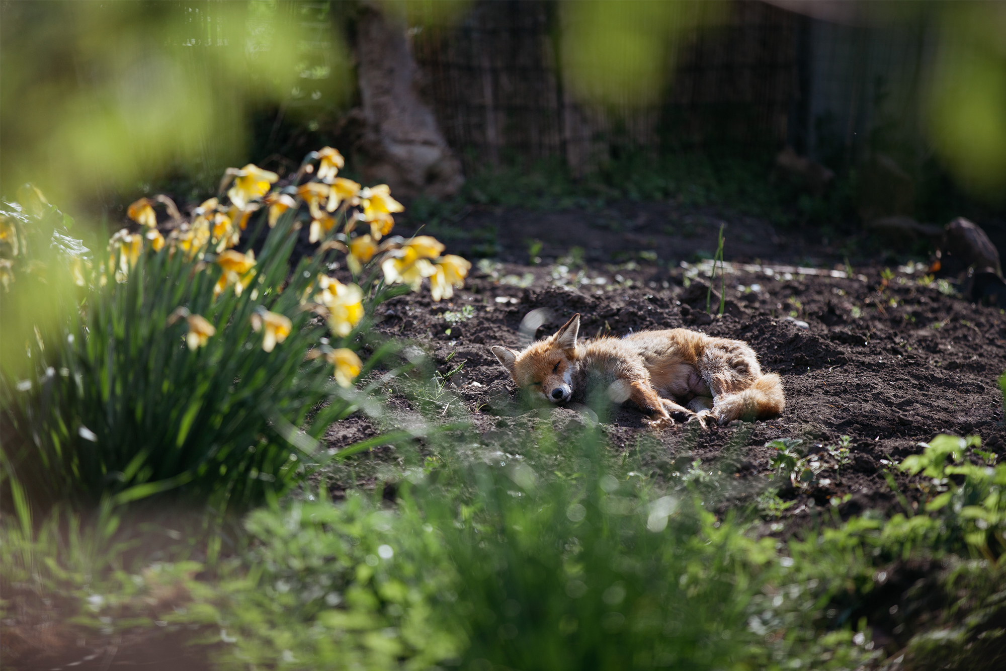 An urban fox snoozes on an allotment plot in spring.