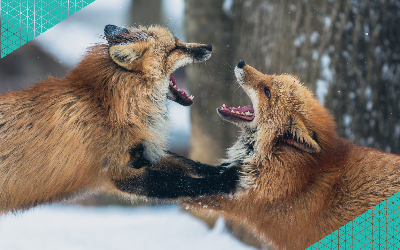 Foxes Fighting