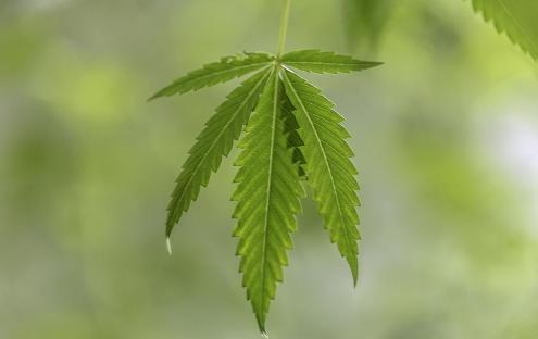 cannabis enviornment