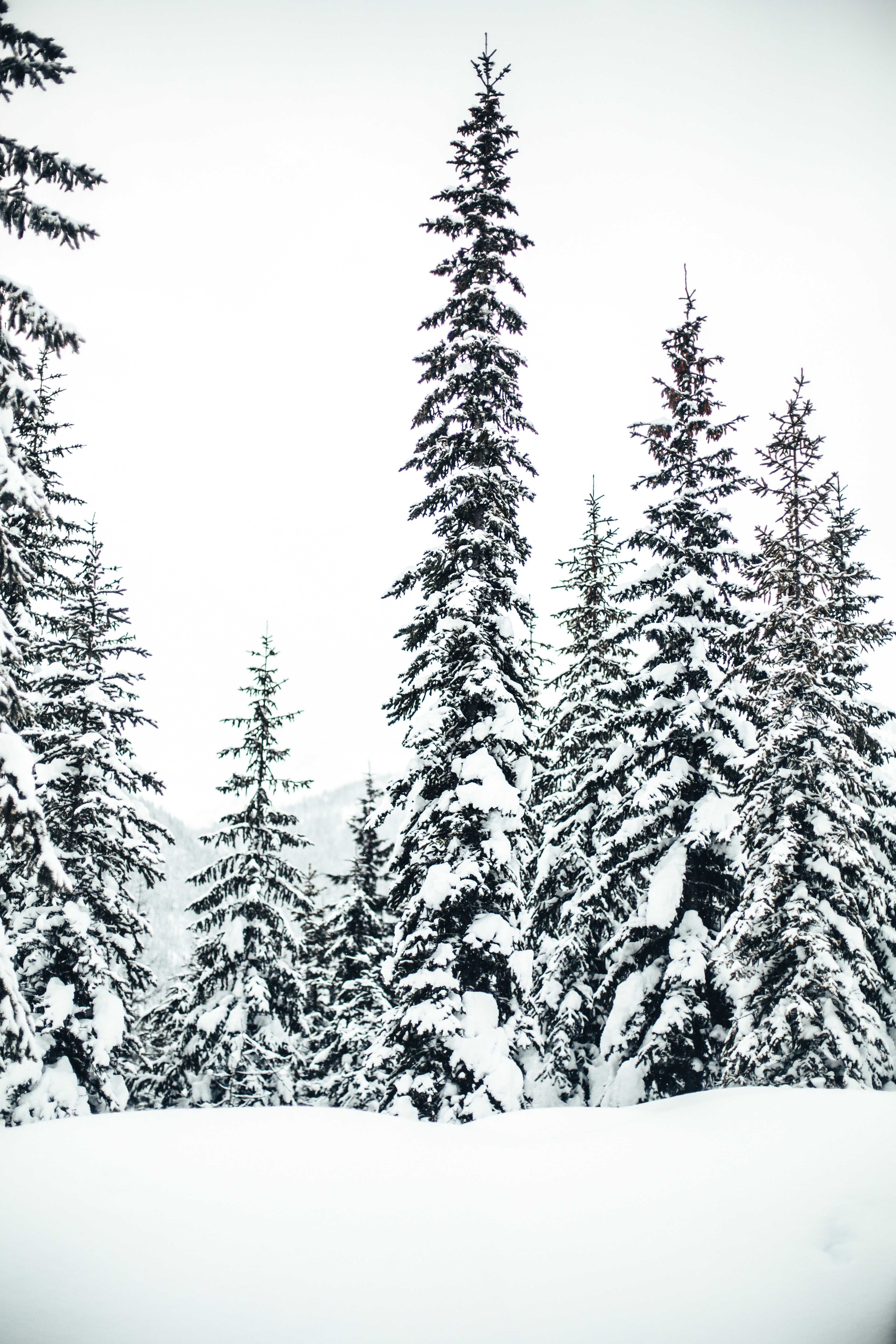 Snow-covered trees in British Columbia's backcountry.