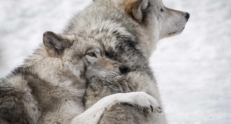 「狼」不為人知的真實生活