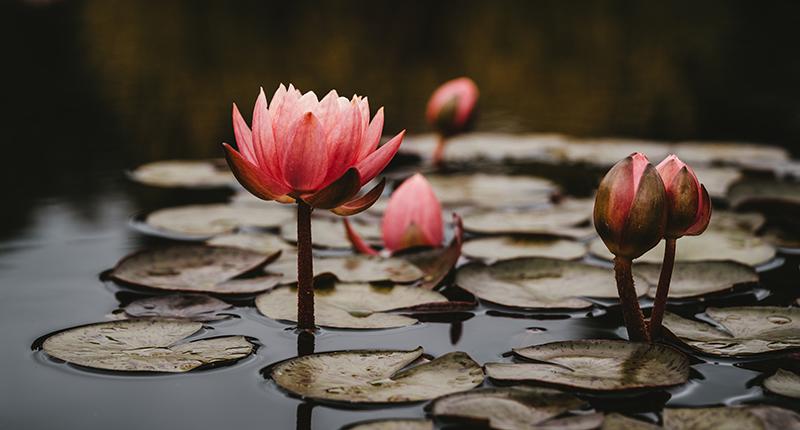 蓮花象徵的意義