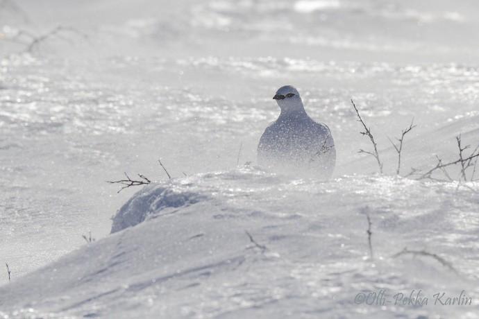 Pardwę górską z podrodziny bażantowatych Lapończycy nazywają giron i tak samo mówią na Kirunę © Olli-Pekka Karlin
