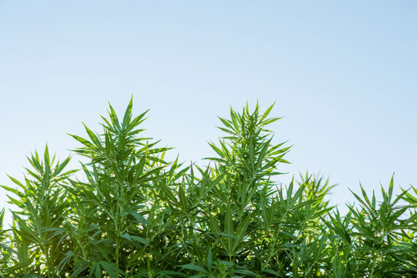 Cannabis plants with blue sky background