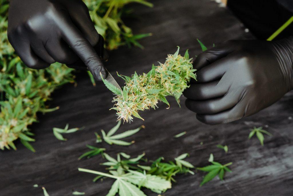 Cutting and Handling Marijuana Industry Hazards