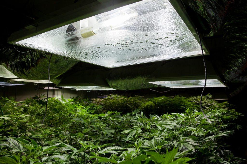 Marijuana Grow Room with High Pressure Sodium Bulb Lighting