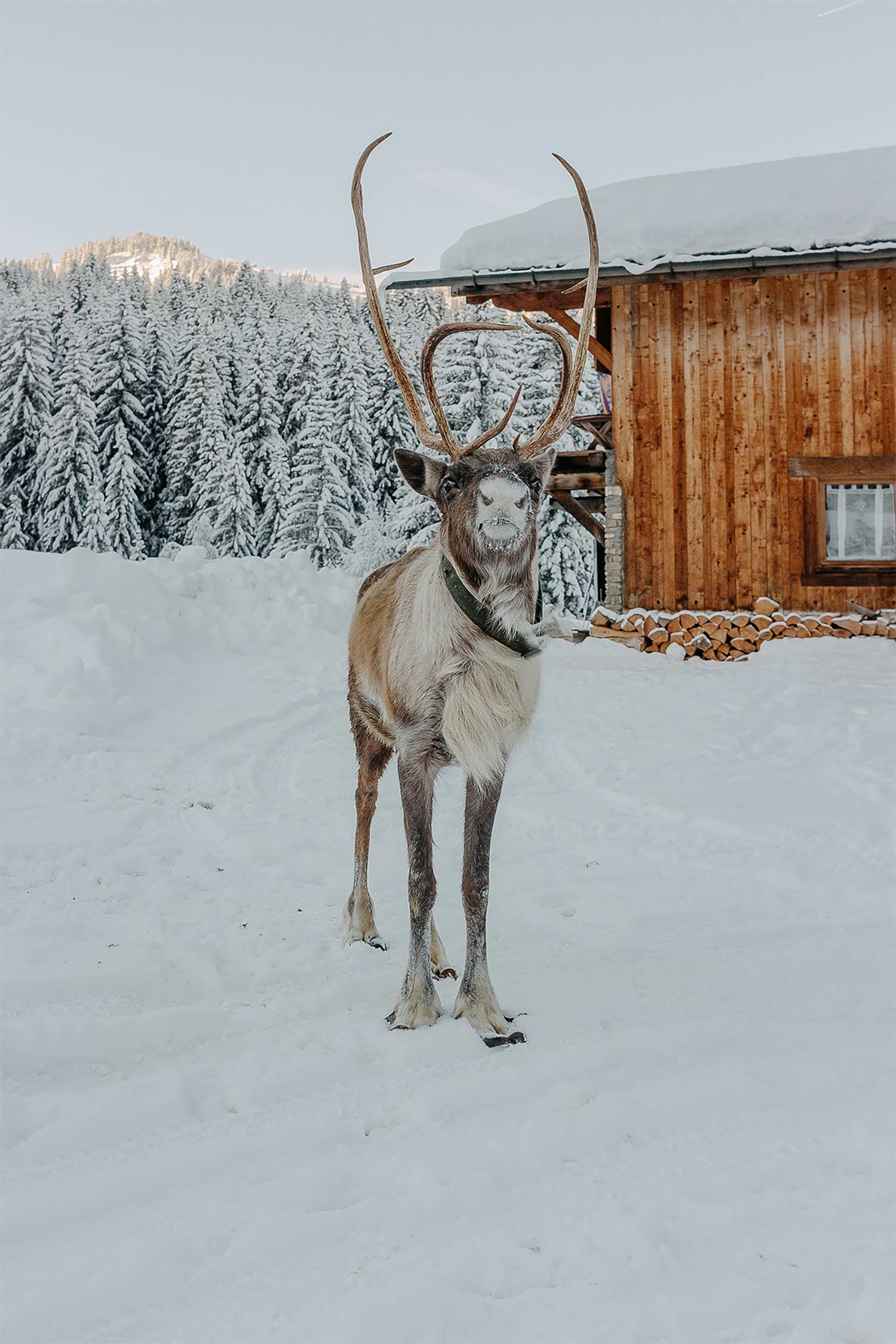 Visit to the Reindeer Farm