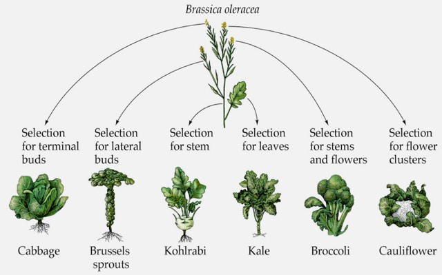Types of Brassica