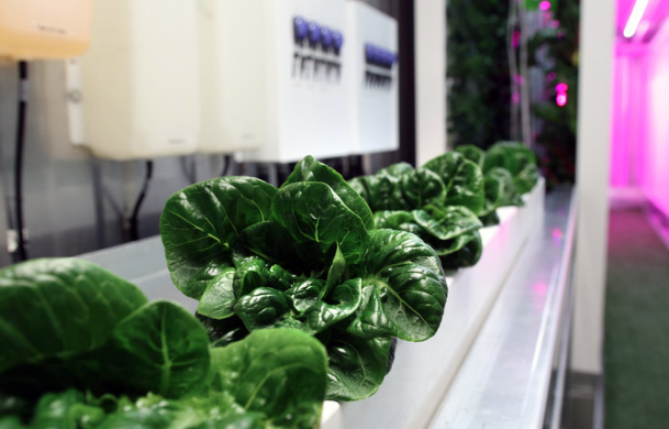 Kimbal Musk Square Roots Lettuce Image