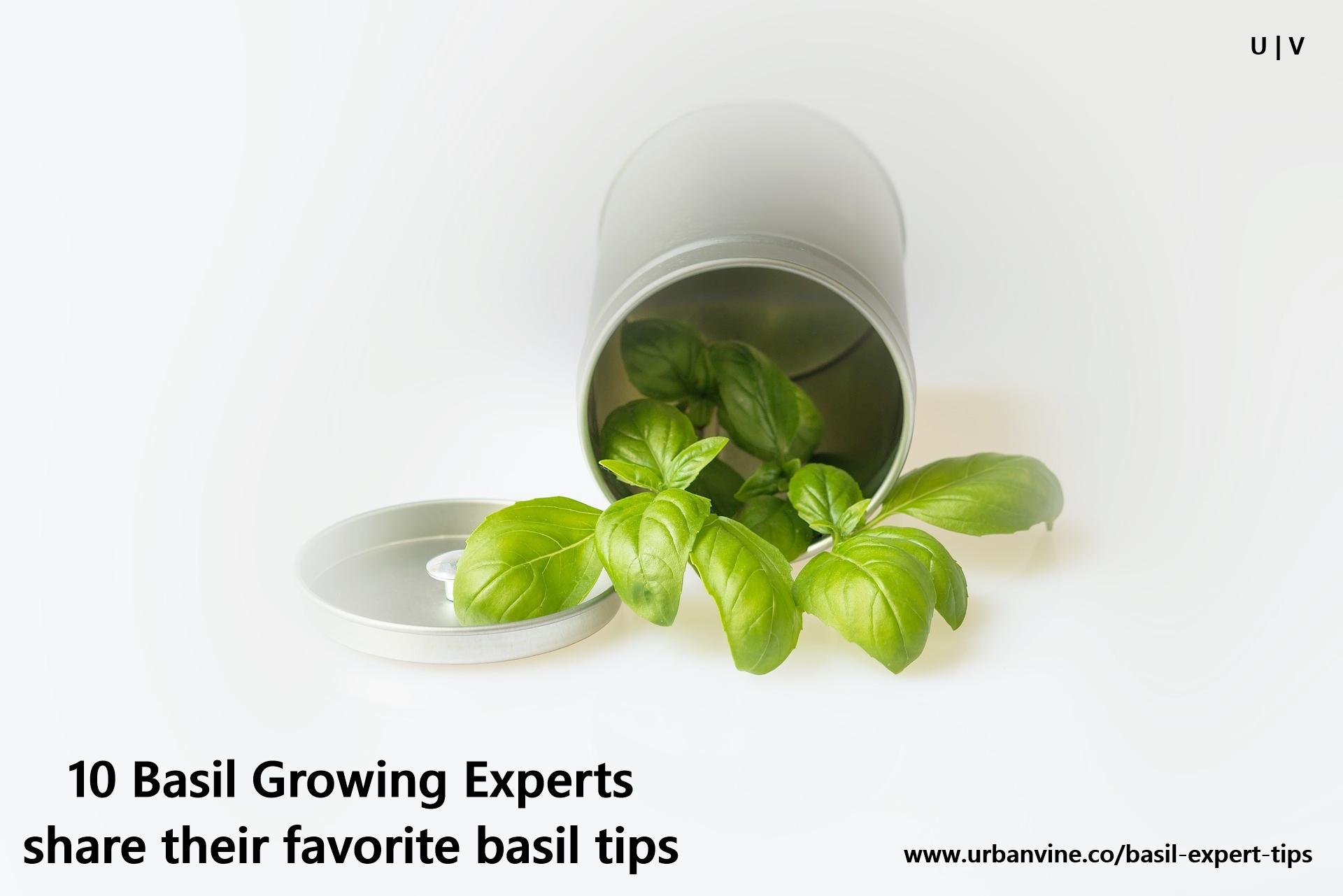 10 Basil Growing Experts share tips to grow better basil