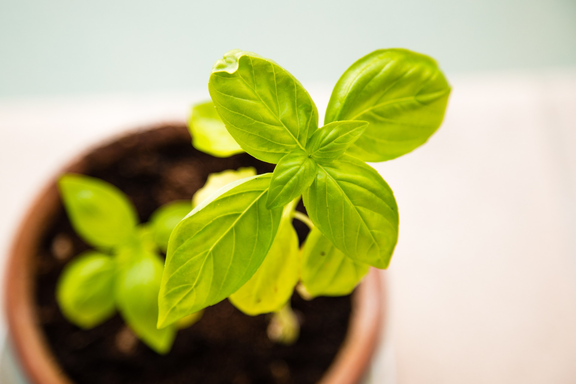 11 secrets for growing better basil you didn't know...until now