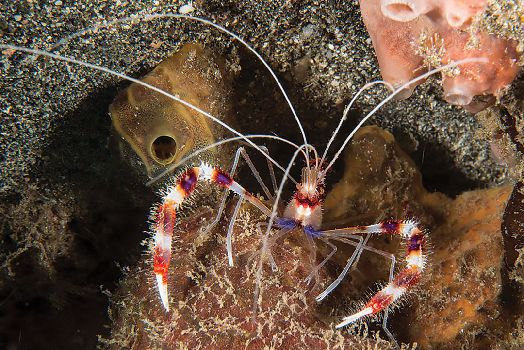 Banded Shrimp in St. Vincent, photo courtesy Serenity Dive