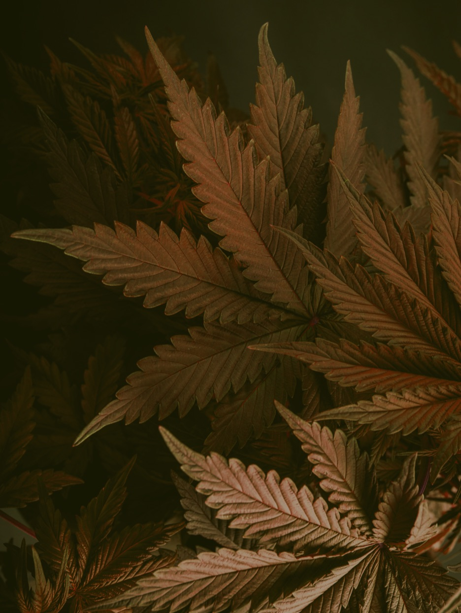 Photograph of Cannabis plants up close