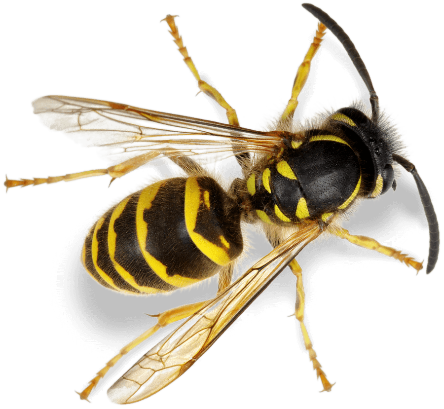 Bees and wasps pest control treatment from Sudden Death