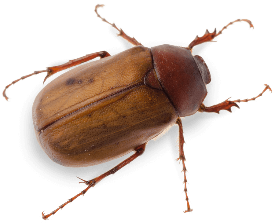 Beetles pest control treatment from Sudden Death