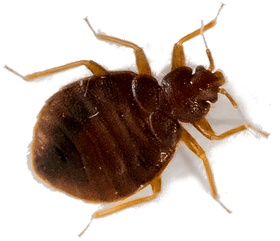 Bed bugs pest control treatment from Sudden Death