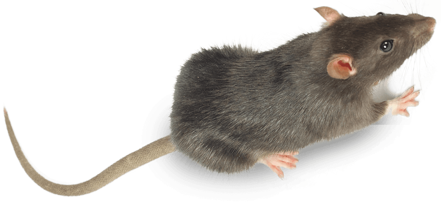 Rats pest control treatment from Sudden Death