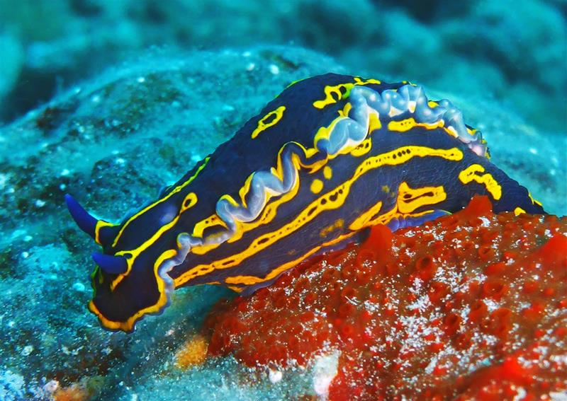 Nudibranchs factfile