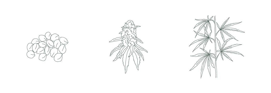 Hemp seed, female hemp plant, and hemp stalk illustration for Triangle Hemp