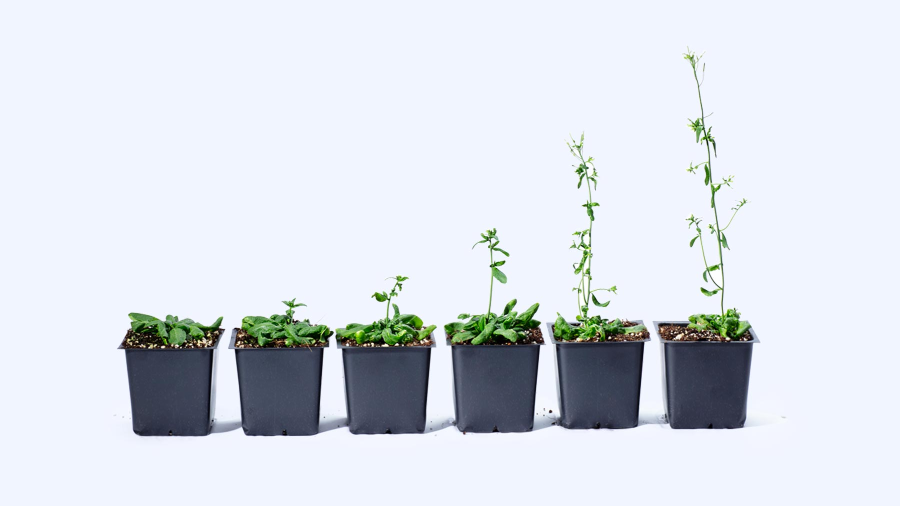 Arabidopsis plants lined up at different stages of growth.