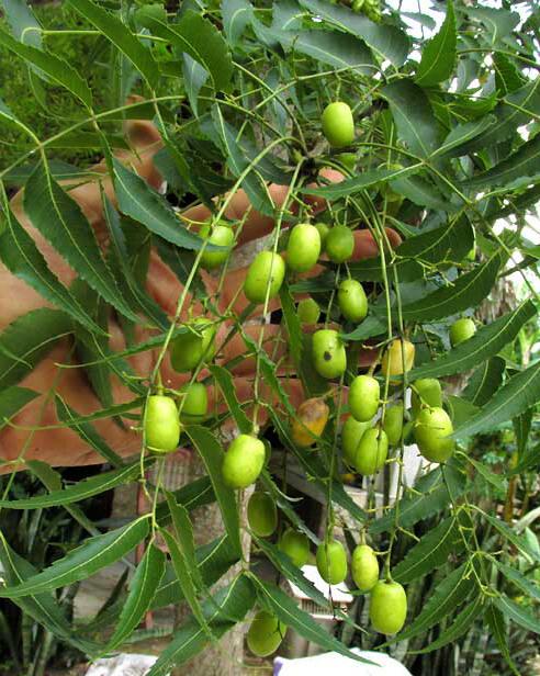 Neem tree fruit