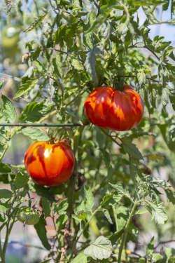 ripe tomatoes in Gleaners' organic garden