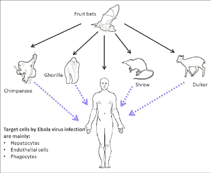 Transmission of Ebola virus infection