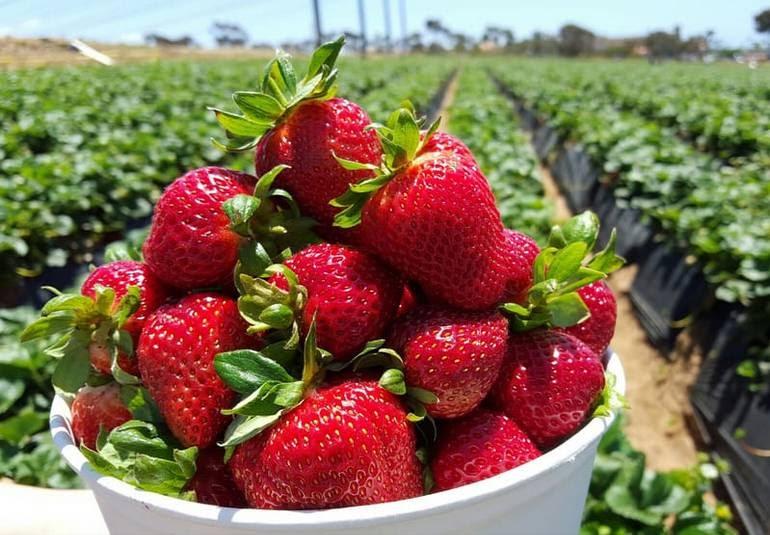 Carlsbad Strawberry Company