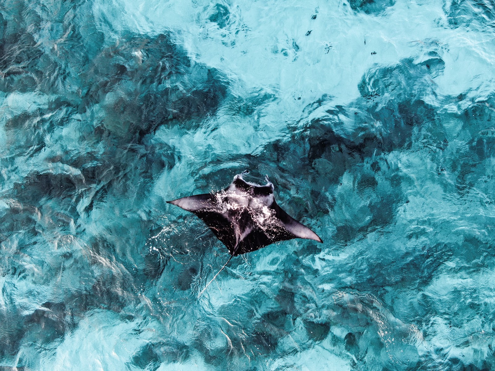 Giant Manta Rays in Mexico