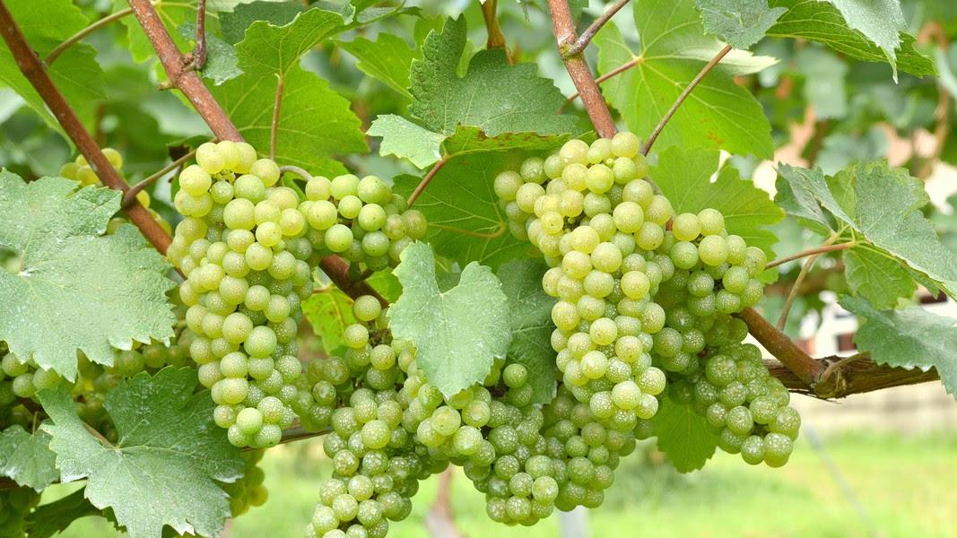 费多丽(Chardonnay)