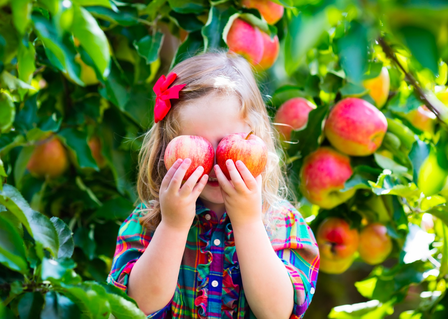 Young girl in an orchard holding fresh apples over her eyes