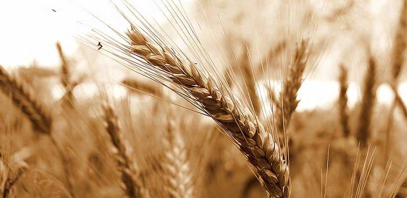 Was niemand weiß: Warum Getreide krank macht!