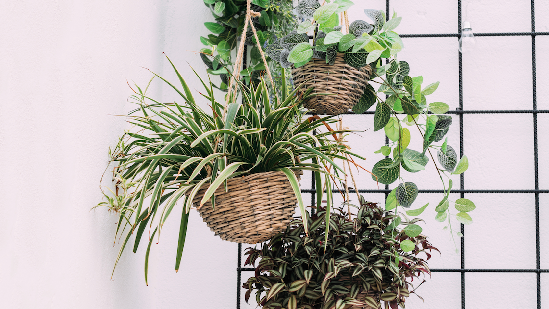 Image of house plants in hanging baskets.