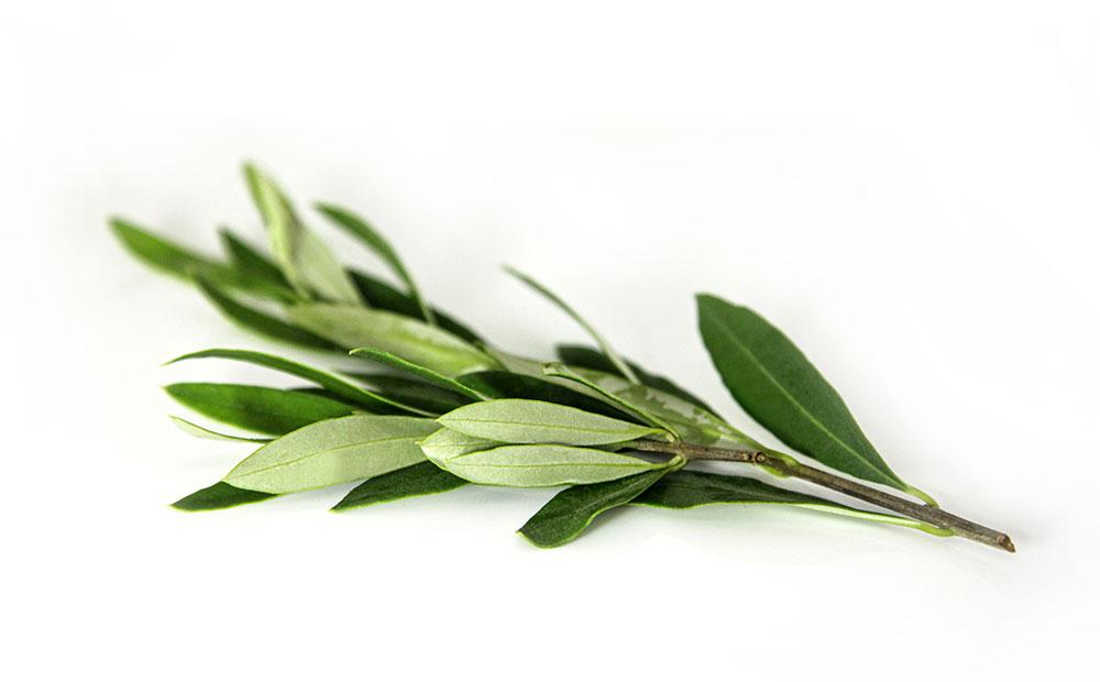 Wirkstoffe aus Olivenzweig