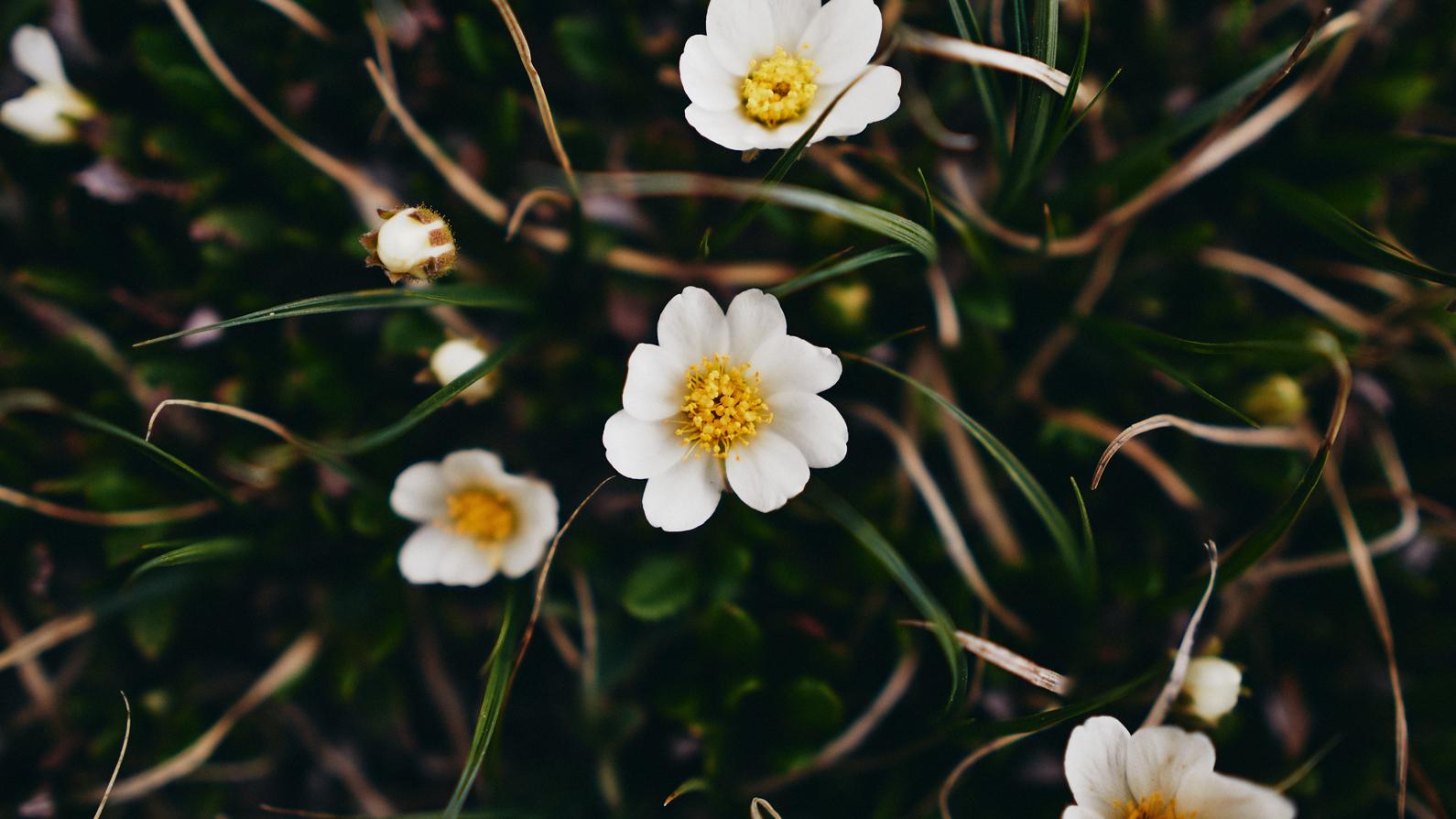 macro photo of white flowers sigh sigma 16mm f1.4