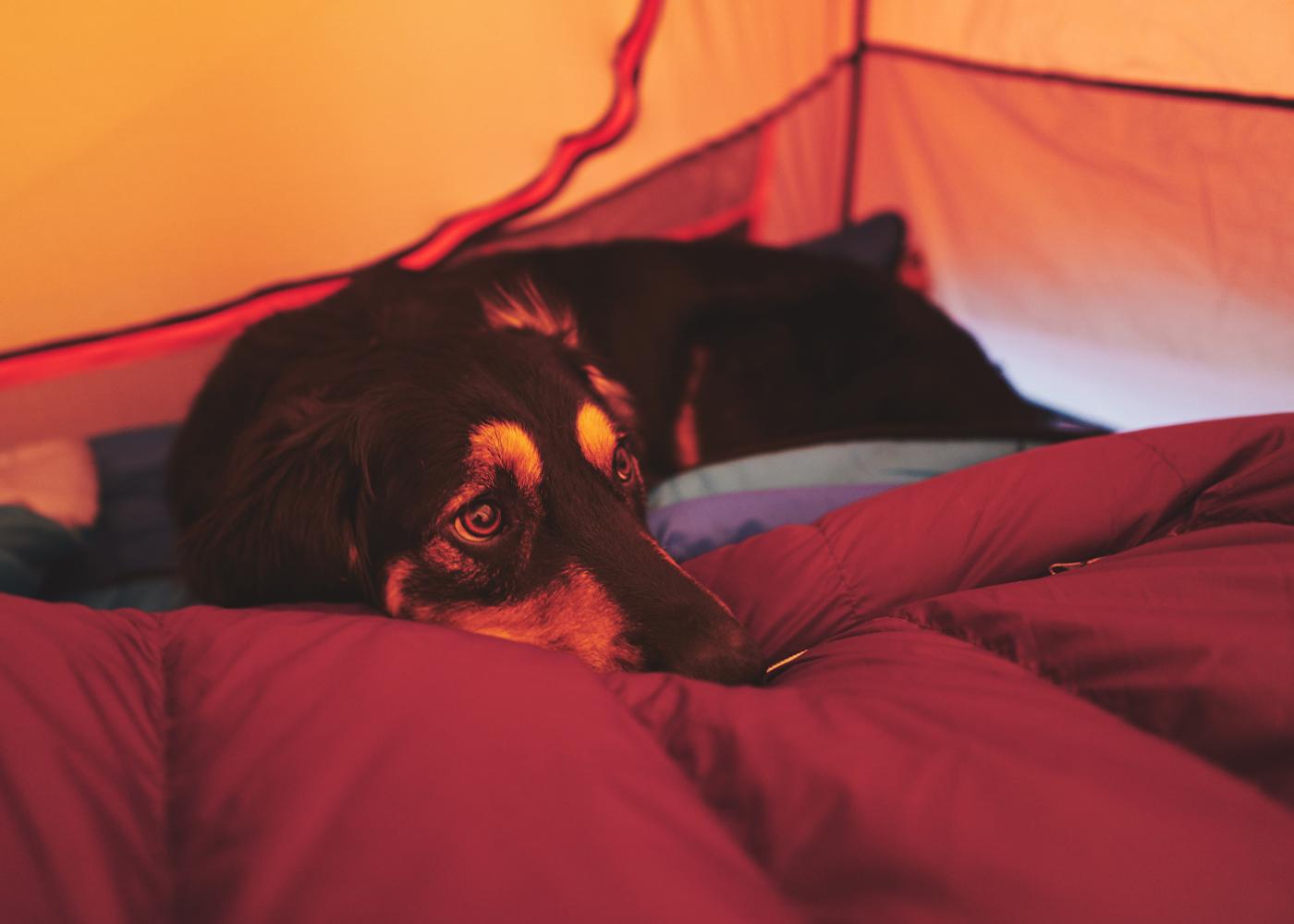 black dog waking up in orange tent