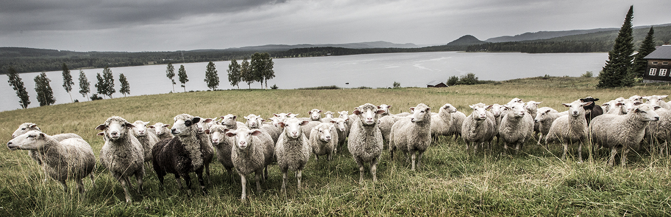A large flock of sheep are standing in a line, looking at the camera, with a huge lake and a cottage in the background