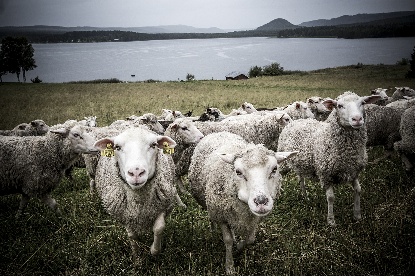 In the foreground, a flock of sheep are walking curiously towards us. Their ears have been tagged for identification. In the background, a large expanse of water stretches into the horizon, where a forest and low mountains can also be seen