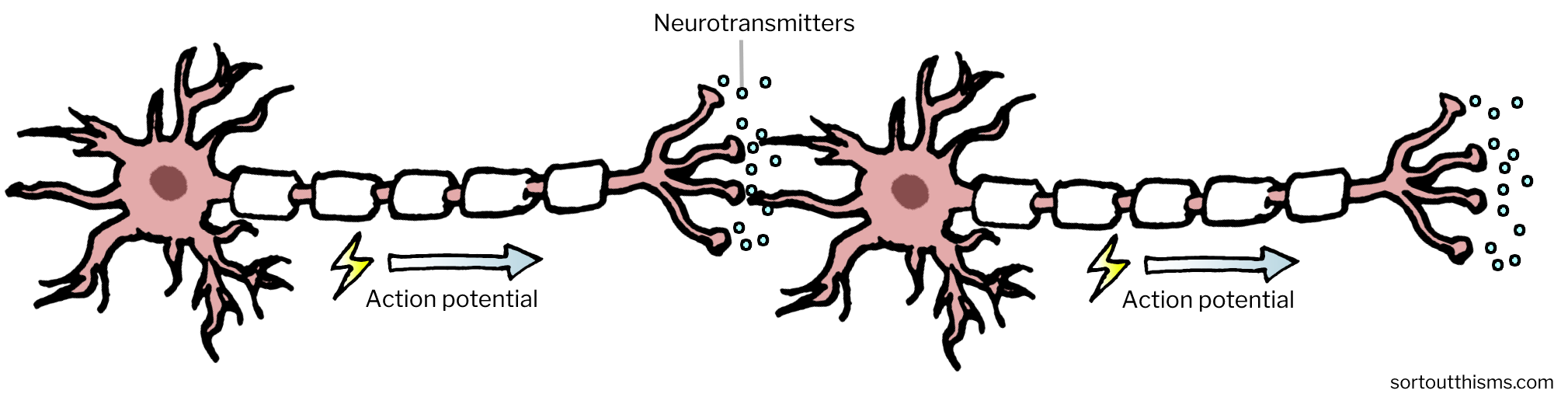 How signals are passed along neurons | Sort Out This MS