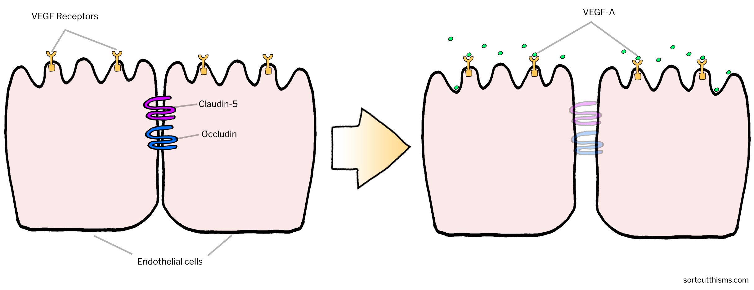 Tight junctions of the Blood-Brain Barrier | Sort Out This MS