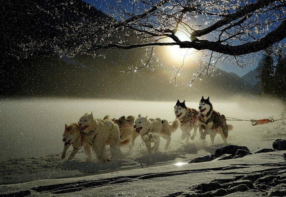 Dogs, Huskies, Animal, Dog Racing, Winter, Wintry