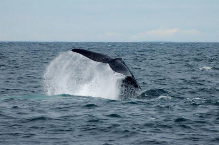 A fin whale fluke