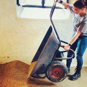 spreading barley on floor
