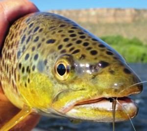 A beauty of a brown caught in front of the Palisades of the Madison.