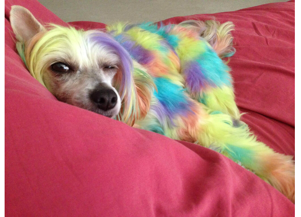 Image result for dogs with dyed hair